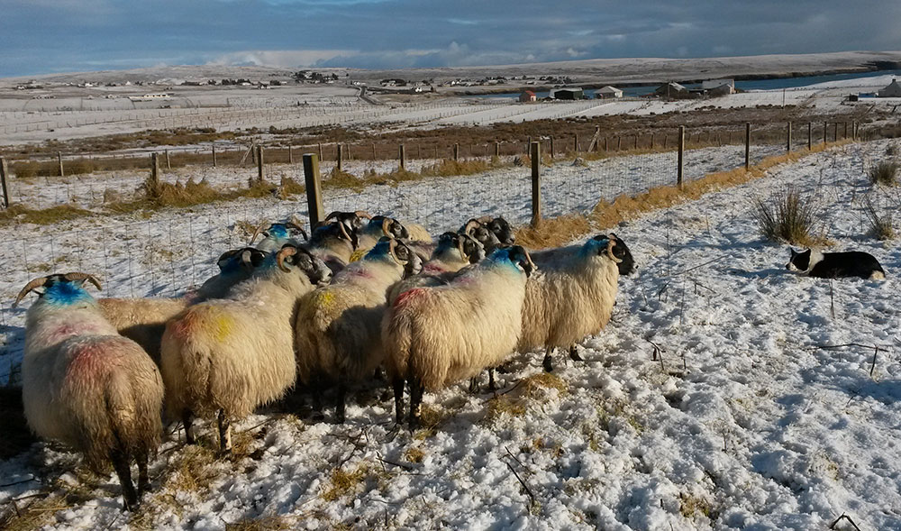 sheepdog herding sheep on the croft at 26 Back, snow on the ground
